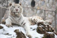 Όμορφη άσπρη τίγρη στο χιόνι στο πάρκο Στοκ Φωτογραφία