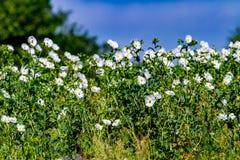 Όμορφη άσπρη τραχιά παπαρούνα (Argemone albiflora) Wildflowers ι Στοκ εικόνες με δικαίωμα ελεύθερης χρήσης