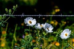 Όμορφη άσπρη τραχιά παπαρούνα (Argemone albiflora) Wildflowers ι Στοκ φωτογραφίες με δικαίωμα ελεύθερης χρήσης