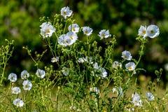 Όμορφη άσπρη τραχιά παπαρούνα (Argemone albiflora) Wildflowers ι Στοκ Φωτογραφίες