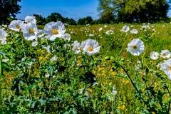 Όμορφη άσπρη τραχιά παπαρούνα (Argemone albiflora) Wildflowers ι Στοκ Εικόνες