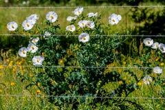 Όμορφη άσπρη τραχιά παπαρούνα (Argemone albiflora) Wildflowers ι Στοκ φωτογραφία με δικαίωμα ελεύθερης χρήσης