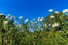 Όμορφη άσπρη τραχιά παπαρούνα (Argemone albiflora) Wildflowers ι Στοκ Εικόνα