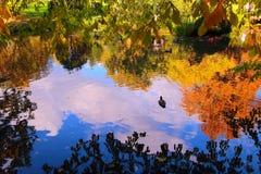 Όμορφη λίμνη φθινοπώρου τις πάπιες και τα δέντρα που απεικονίζονται με στο νερό Στοκ Εικόνες