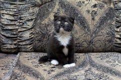 Όμορφη δίχρωμη σκωτσέζικη συνεδρίαση γατακιών στον καναπέ Στοκ Φωτογραφίες