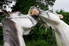όμορφη αγάπη horeses Στοκ φωτογραφία με δικαίωμα ελεύθερης χρήσης