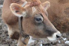 Όμορφη αγελάδα του Τζέρσεϋ στοκ φωτογραφία με δικαίωμα ελεύθερης χρήσης