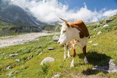 όμορφη αγελάδα Στοκ εικόνες με δικαίωμα ελεύθερης χρήσης