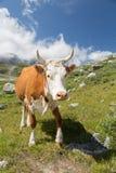 όμορφη αγελάδα Στοκ εικόνα με δικαίωμα ελεύθερης χρήσης