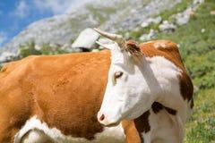 όμορφη αγελάδα Στοκ Φωτογραφία