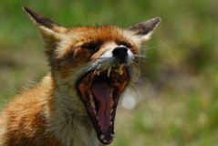 όμορφη αλεπού vulpes Στοκ Εικόνες