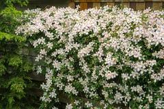 Όμορφη ανάπτυξη Clematis Μοντάνα σε έναν φράκτη σε έναν κήπο κατωφλιών στοκ φωτογραφία με δικαίωμα ελεύθερης χρήσης