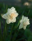 Όμορφη ανάπτυξη daffodil λουλουδιών άσπρη στον κήπο Κινηματογράφηση σε πρώτο πλάνο Στοκ φωτογραφία με δικαίωμα ελεύθερης χρήσης