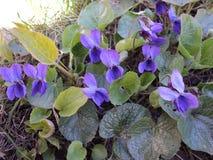 όμορφη ανθίζοντας βιολέτα λουλουδιών φυτών με τα μπλε πέταλα Στοκ εικόνες με δικαίωμα ελεύθερης χρήσης