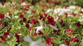 Όμορφη ανθίζοντας πετούνια Μεγάλο ελαφρύ θερμοκήπιο Ανθίζοντας λουλούδια στο θερμοκήπιο απόθεμα βίντεο