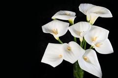 Όμορφη ανθοδέσμη άσπρα callas σε έναν μαύρο οριζόντιο προσανατολισμό υποβάθρου στοκ φωτογραφία με δικαίωμα ελεύθερης χρήσης