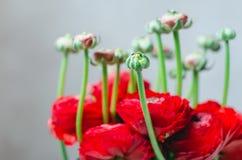 Όμορφη ανθοδέσμη βατραχίων νεραγκουλών άνοιξη κόκκινη και πράσινη των λουλουδιών σε μια άσπρη μακροεντολή υποβάθρου Στοκ Εικόνες