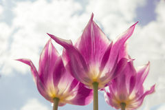 Όμορφη ανθοδέσμη της τουλίπας ζωηρόχρωμη τουλίπα τουλίπα την άνοιξη, ζωηρόχρωμη τουλίπα Στοκ Εικόνα