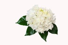 Όμορφη ανθοδέσμη του άσπρου βλαστάνοντας λουλουδιού Gardenia jasminoides Στοκ φωτογραφία με δικαίωμα ελεύθερης χρήσης