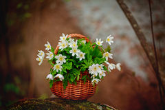 Όμορφη ανθοδέσμη του nemorosa Anemone στο καλάθι Στοκ Φωτογραφίες