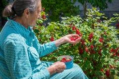 Όμορφη ανώτερη γυναίκα που επιλέγει homegrown redcurrants στοκ εικόνες