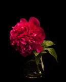 όμορφη απεικόνιση χαιρετισμού πλαισίου λουλουδιών καρτών διακοσμητική peony Στοκ Φωτογραφία