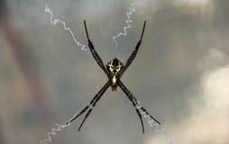 Όμορφη αράχνη με το κίτρινο αλλοδαπό πρόσωπο στο σώμα Στοκ φωτογραφίες με δικαίωμα ελεύθερης χρήσης
