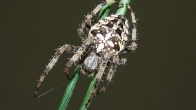 Όμορφη αράχνη | Πεύκο στοκ φωτογραφία