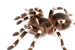 Όμορφη αράχνη στοκ εικόνα