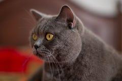 Όμορφη ασημένια βρετανική συνεδρίαση γατών shorthair Στοκ Εικόνες