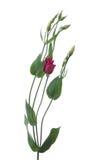 όμορφη βιολέτα λουλου&delt στοκ φωτογραφίες με δικαίωμα ελεύθερης χρήσης