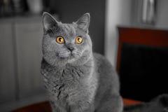 Όμορφη βρετανική γκρίζα γάτα κινηματογραφήσεων σε πρώτο πλάνο με τα κίτρινα μάτια στοκ φωτογραφίες με δικαίωμα ελεύθερης χρήσης