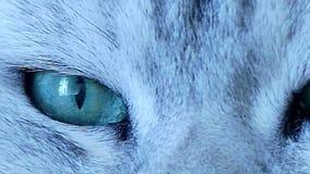Όμορφη βρετανική τσιντσιλά κινηματογράφηση σε πρώτο πλάνο ματιών γατών πράσινη απόθεμα βίντεο