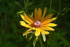 Όμορφη βλάστηση η μαύρη Eyed Susan σχεδόν στην πλήρη άνθιση Στοκ εικόνες με δικαίωμα ελεύθερης χρήσης