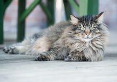 όμορφη γάτα εσωτερική Στοκ Φωτογραφία