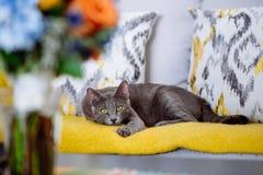 Όμορφη γάτα με τα κίτρινα μάτια, που κάθονται στον καναπέ Στοκ Εικόνες