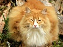 Όμορφη γάτα πιπεροριζών Στοκ Φωτογραφίες