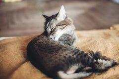Όμορφη γάτα που γλείφει και που πλένεται στο μοντέρνο κίτρινο κενό Στοκ Εικόνα