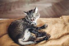 Όμορφη γάτα που γλείφει και που πλένεται στο μοντέρνο κίτρινο κενό Στοκ Εικόνες
