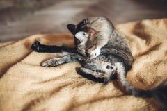 Όμορφη γάτα που γλείφει και που πλένεται στο μοντέρνο κίτρινο κενό Στοκ φωτογραφία με δικαίωμα ελεύθερης χρήσης