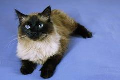 Όμορφη γάτα σε ένα μπλε υπόβαθρο στοκ εικόνα με δικαίωμα ελεύθερης χρήσης