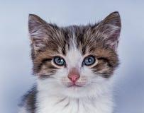 Όμορφη γάτα σε ένα μπλε υπόβαθρο Στοκ φωτογραφία με δικαίωμα ελεύθερης χρήσης