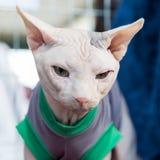 Όμορφη γάτα σε Quattrozampeinfiera στο Μιλάνο, Ιταλία Στοκ Φωτογραφίες