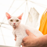 Όμορφη γάτα σε Quattrozampeinfiera στο Μιλάνο, Ιταλία Στοκ εικόνες με δικαίωμα ελεύθερης χρήσης