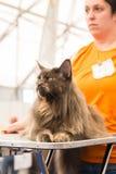 Όμορφη γάτα σε Quattrozampeinfiera στο Μιλάνο, Ιταλία Στοκ φωτογραφίες με δικαίωμα ελεύθερης χρήσης