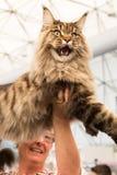 Όμορφη γάτα σε Quattrozampeinfiera στο Μιλάνο, Ιταλία Στοκ Φωτογραφία