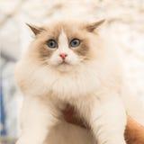 Όμορφη γάτα σε Quattrozampeinfiera στο Μιλάνο, Ιταλία Στοκ Εικόνες