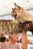 Όμορφη γάτα σε Quattrozampeinfiera στο Μιλάνο, Ιταλία Στοκ φωτογραφία με δικαίωμα ελεύθερης χρήσης
