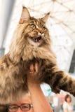 Όμορφη γάτα σε Quattrozampeinfiera στο Μιλάνο, Ιταλία Στοκ Εικόνα
