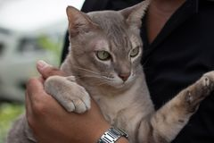 Όμορφη γάτα στα χέρια του ατόμου Στοκ Εικόνες